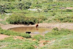 Cows at watering hole Royalty Free Stock Images