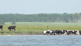 Cows at a watering on a hot summer day. Rural scene. Cows at a watering on a hot summer day stock footage