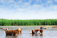 Cows on watering place Stock Images