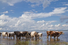 Cows at the watering Stock Photography