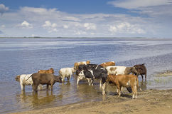 Cows at the watering Stock Photo