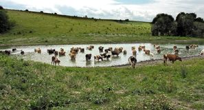 Cows at the watering-place. In the pasture stock images