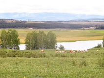Cows on a watering place Royalty Free Stock Photos