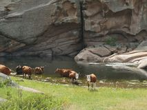 Cows at a watering place in the mountains stock images