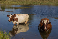 Cows on watering. Stock Photos