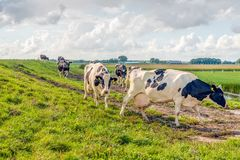 Cows on the way to milking parlor. It`s milking time. The black and white spotted cows are walking out of the pasture to the milking stall at the farm Royalty Free Stock Photo