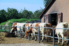 Cows on the way to the pasture Stock Photo