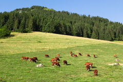 Cows wearing bells are grazing in a beautiful green meadow in t Stock Photo