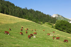 Cows wearing bells are grazing in a beautiful green meadow in t Royalty Free Stock Photos