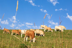 Cows wearing bells are grazing in a beautiful green meadow in t Stock Images
