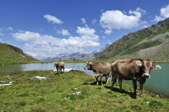 Cows at Weisssee Stock Photo