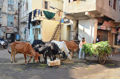 Cows were feed at morning near Manek Chowk, Ahmedabad Stock Images