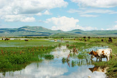 Cows and wetlands Royalty Free Stock Image