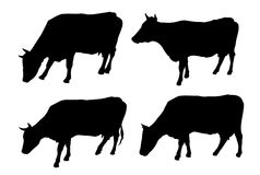 Cows on a white background Stock Images