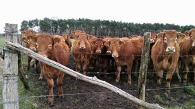 Inquisitive looking herd of brown Cows with white eyes. Herd of inquisitive looking young red brown French breed cows with light coloured circles around eyes as Stock Photography