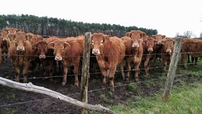 Herd of young inquisitive brown Cows with white eyes Stock Images