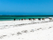 Cows on a white sandy beach Stock Image