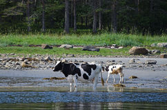 Cows by the White sea Royalty Free Stock Photography