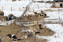 The cows who are grazed on a farm in the early spring Royalty Free Stock Photo