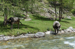 Cows the wild, South Tyrol, Italy Royalty Free Stock Photos