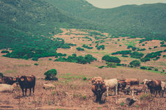 Cows in a wild valley Royalty Free Stock Images