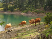 Cows at the wild Stock Photo