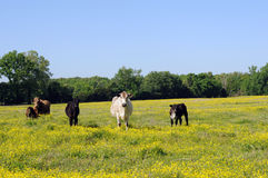 Cows in wildflowers. Cows walking toward camera over field of wildflowers stock photography