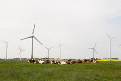 Cows and windmills Stock Photo