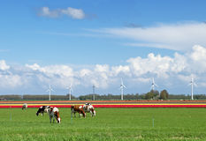 Cows and windturbines Royalty Free Stock Image