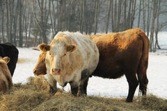 Cows in winter Royalty Free Stock Images