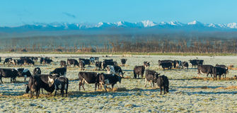 Cows Winter Breakfast Royalty Free Stock Photos