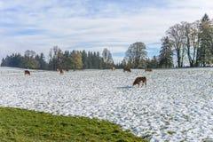Cows in Winter Farm Field Stock Image