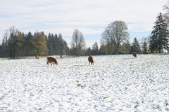 Cows in Winter Farm Field Royalty Free Stock Photos