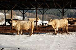 Cows in winter Royalty Free Stock Photo