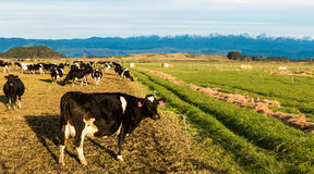 Cows Winter Feeding Royalty Free Stock Photos