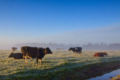 Cows in a winter landscape Stock Images