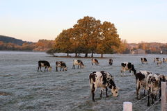 Cows in winter. In Normandy, Cows in winter Royalty Free Stock Images