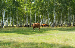 Cows in the woods Royalty Free Stock Photos