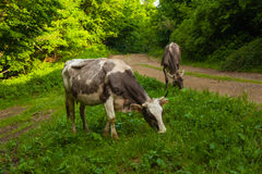 Cows in the woods Stock Photo