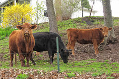 Cows in Yard Stock Image