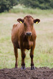 Cows - Young Heifer Royalty Free Stock Image