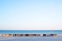 Cows on Zanzibar Beach Stock Photos