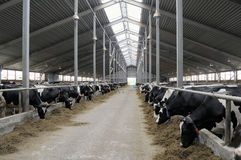 Cowshed. Cowshed for the maintenance of the big herd of cows Royalty Free Stock Images