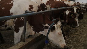 cowshed video estoque
