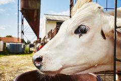 Cowshed Stock Image