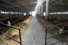 Cowshed with cows Royalty Free Stock Photography