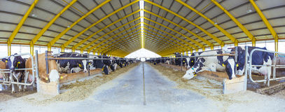 Cowshed Livestock Farming Agriculture industry. Panoramic View stock photo
