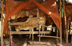 Cowshed with mosquito net. Herd of cows standing in cowshed with mosquito net to protect out mosquitoes stock image