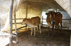 Cowshed with mosquito net. Two cows standing in cowshed with mosquito net to protect out mosquitoes stock photos