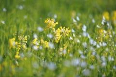 Cowslip和更加伟大的星形花香草花春天 免版税库存照片